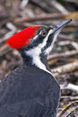 Pileated woodpecker portrait close up Royalty Free Stock Image