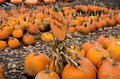 Piles of many fall pumpkins are for sale at this local michigan pumpkin farm just in time for halloween jack o lantern fun Stock Photography