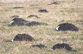 Piles of soil collected by mole mole mound the work talpa europaea Royalty Free Stock Image