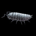 Pill woodlouse rolly polly or potato bug digital illustration of a the common common Royalty Free Stock Image