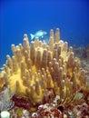 Pillar Coral Royalty Free Stock Photo