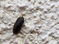 Pillbug climbing wall - Armadillidium Royalty Free Stock Photo