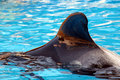 Pilot Whale Fin Royalty Free Stock Photo