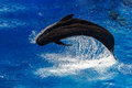 Pilot whale jumping outside the sea Royalty Free Stock Photo