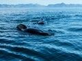 Pilot Whale Royalty Free Stock Photo