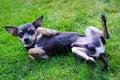 Pincher dog on the grass cute in summer garden Royalty Free Stock Photos