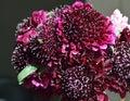 Black Pompom Black Knight pincushion flower bouquet Royalty Free Stock Photo