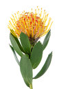 Pincushion Protea Royalty Free Stock Photo