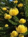 Pincushion Protea Royalty Free Stock Photo