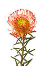 Pincushion protea flower a single red Stock Image