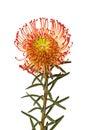 Pincushion Protea Flower Royalty Free Stock Photo