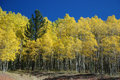 A Pine in the Aspens - How to Stand out in the Cro Stock Photo
