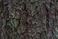 Pine bark look at the Royalty Free Stock Photo