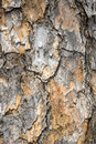 Pine bark on a tree or background Royalty Free Stock Photo