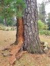 Pine beetle diseased pine tree. Royalty Free Stock Photo