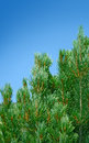 Pine and blue sky top of pines branches Stock Images