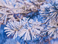 Pine branch in ice closeup Stock Image