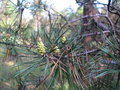 Pine branch with long green needles and small cones Royalty Free Stock Photo