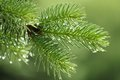 Pine branch with raindrops Royalty Free Stock Image
