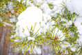Pine branch under snow Stock Photos