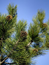 Pine branches with cones Royalty Free Stock Images