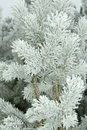 Pine branches covered by fresh frost Stock Photography