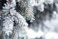 Pine branches covered with hoarfrost crystals Royalty Free Stock Photo