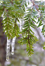 Pine branches encased in ice after an storm Royalty Free Stock Image