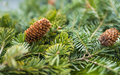 Pine branches with fir cone selective focus on shallow depth of field Royalty Free Stock Images
