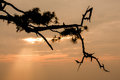 Pine branches in silhouette at sunset Stock Photography