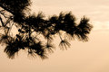 Pine branches in silhouette at sunset Royalty Free Stock Photos
