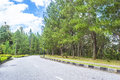Pine casuarina tree and asphalt road Stock Photos