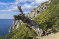 Pine on the cliff above the sea relict rock crimea black coast Stock Image