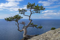 Pine on the cliff above the sea relict rock crimea black coast Stock Images