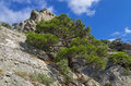 Pine on the cliff relict rock crimea black sea coast Stock Photography
