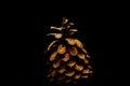 Pine cone on black Royalty Free Stock Photo