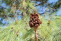 Pine cone brown on a tree with green leaves Stock Photos