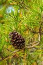 Pine cone cades cove great smoky mountain national park Royalty Free Stock Images
