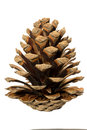 A pine cone. Royalty Free Stock Photo