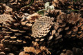 Pine cone cones falling to the ground in a wooded area Stock Image