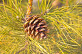 Pine cone and needles Royalty Free Stock Photo