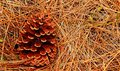 Pine Cone on Pine Needles Royalty Free Stock Photo