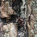 Pine cone on the tree bark.