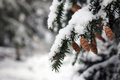 Pine cone on tree with fresh fallen snow Stock Photography