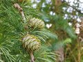 Pine cone on tree Royalty Free Stock Photo