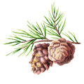 Pine cone. Watercolor illustration