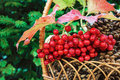 Pine cones in a basket with cluster of guelder rose and conifer background Royalty Free Stock Photo