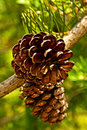 Pine Cones on Branch Royalty Free Stock Photos