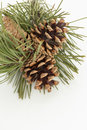 Pine cones branch with Royalty Free Stock Image