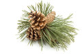 Pine cones branch with Stock Images